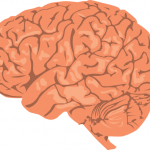 brain SOURCE www.wpclipart.com Public Domain