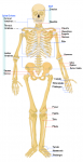 Human_skeleton_front_en.svg SOURCE Wikipedia Public Domain