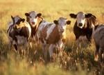 cattle_w725_h529 SOURCE Public Domain
