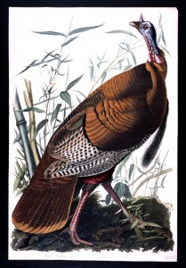 Wild Turkey (male) SOURCE Library of Congress Public domain)