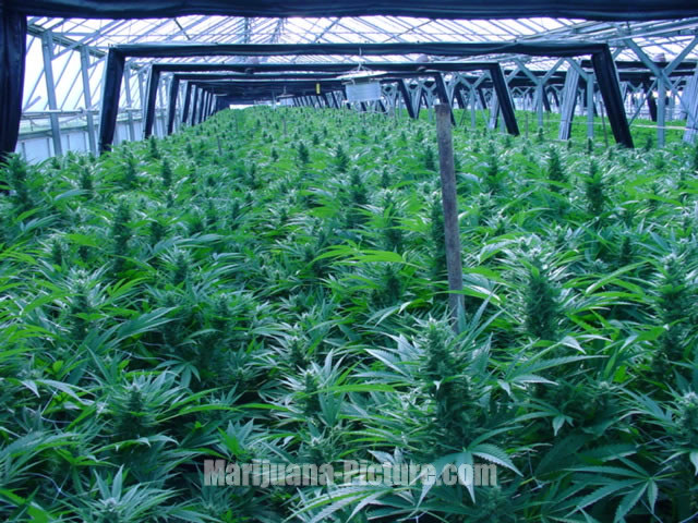 marijuana_greenhouse