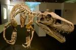 Herrerasaurus_ischigualastensis_CREDIT Eva K. SOURCE Wikipedia Public Domain