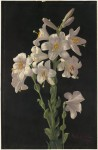Easter_Lily_by_Boston_Public_Library SOURCE Wikipedia Public Domain