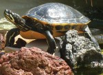 Aquatic Turtle by Michael Miloserdoff publicdomainpicturesnet