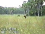 bigfoot David Shealy Big Cypress