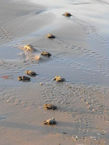 Baby_sea_turtles_make_their_way_toward_the_water US Wildlife Wikipedia Commons Public Domain